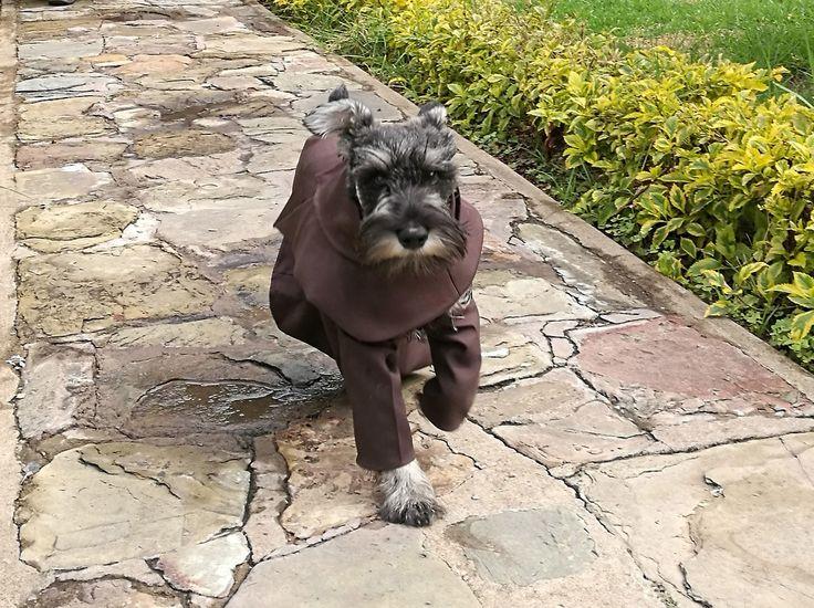 """""""Fray Carmelo"""", la mascota del convento de los franciscanos en Cochabamba (Bolivia). En el convento de los franciscanos en la ciudad boliviana de Cochabamba desde hace unos meses """"Fray Carmelo"""", un perro de la raza Schnauzer que fue vestido igual que..."""
