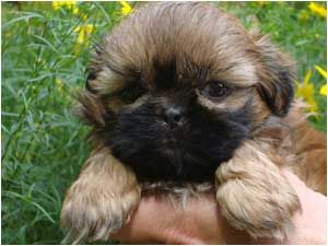 I have wanted a new puppy for 3-5 years now..... since our Golden passed away.  I think a little Shih Tzu puppy is in my future  and no shedding!