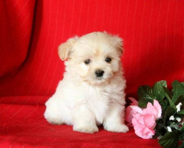 Beautiful Havanese Maltese Mix Puppies 973 559 Southern Silks Maltese Puppies And Havanese Puppies Dog For Adopti In 2020 Maltese Puppy Havanese Puppies Dog Adoption