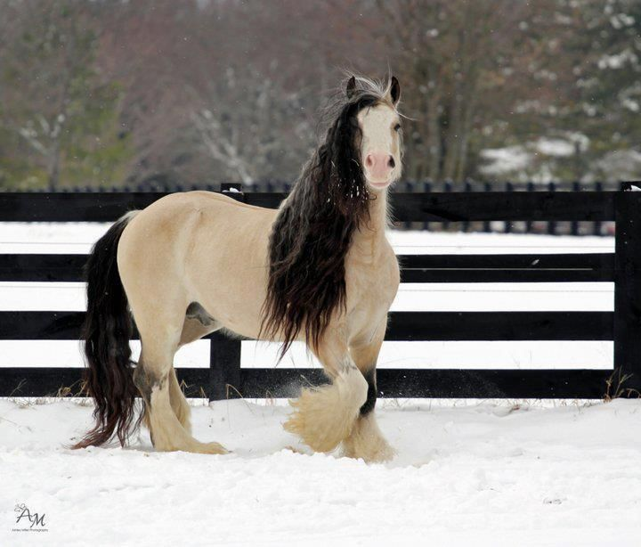 Here is the rare champagne buckskin Gypsy Vanner, Taskin This Gypsy stallion competes and wins, with several championships to his name, in Pleasure Driving and under saddle events. Taskin's beauty is so undeniable, he's been recreated as Breyer model horse...