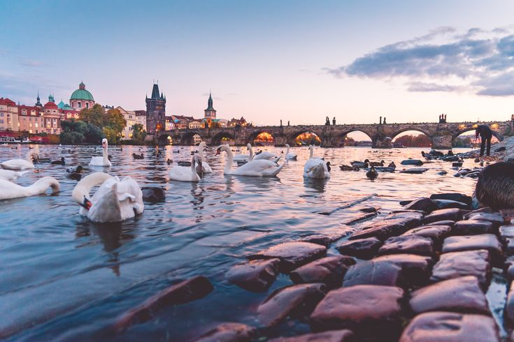 Beautiful Sunset Panorama with Swans and Charles Bridge in Prague ➤ DOWNLOAD by click on the picture ➤ #Animals #Architecture #Autumn #Bridge #Buildings #CharlesBridge #City #CzechRepublic #Fall #Old #OldCity #Prague #River #RiverSide #Sky #Sunset #Swans #Vintage #Vltava #VltavaRiver #freestockphotos #picjumbo