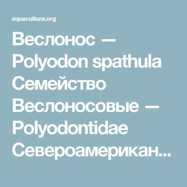 Веслонос — Polyodon spathula Семейство Веслоносовые — Polyodontidae Североамериканский вид. Пресноводная рыба, обитает в больших реках и чистых озерах на глубине более 3 м, обычно вдали от берегов. Весной и летом часто держится у поверхности, иногда выпрыгивая из воды.  Исходный ареал – водоемы восточной части Соединенных Штатов: река Миссисипи, ее притоки Огайо, Миссури и Иллинойс; озера, связанные с рекой Миссисипи, а также другие реки, впадающие в Мексиканский залив. Как объект…