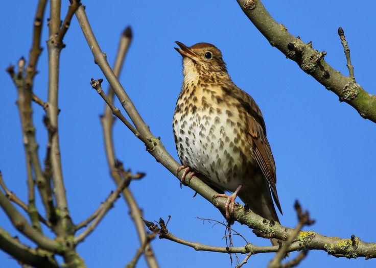 Nigel B2010 posted a photo:  Another great day at Attenborough Nature Reserve where I managed to get this shot of a beautiful Song Thrush, Nottinghamshire uk.