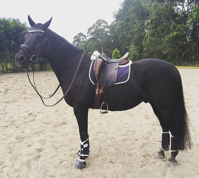 J looking dapper in Navy Hufglocken 🎩#helloladies #dressagepony #hufglockenau
