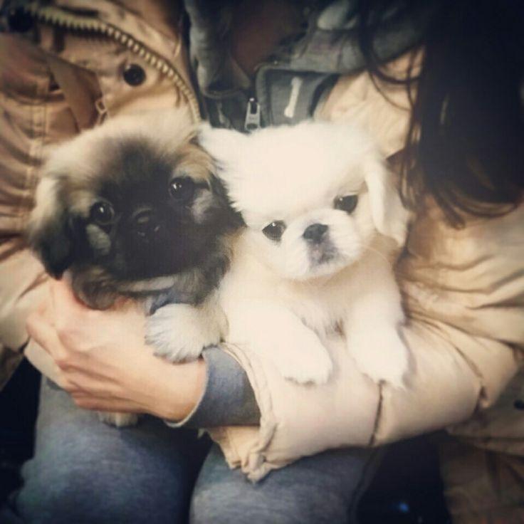 Pekingese 페키니즈 반려견 pet dog