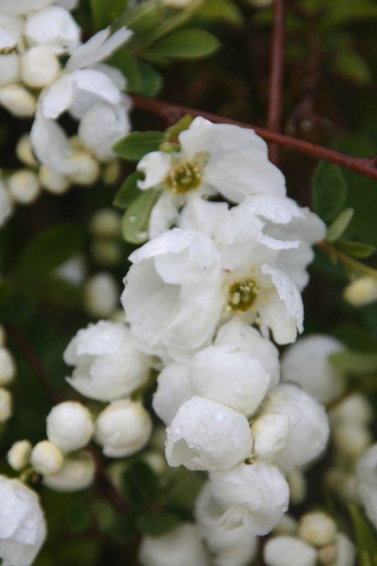 Les 119 meilleures images du tableau jardin blanc de chanis sur pinterest jardins blancs - Arbuste a petites fleurs blanches ...