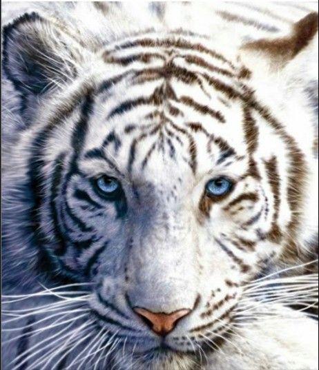 Sneeuw tijger ♥♡★☆