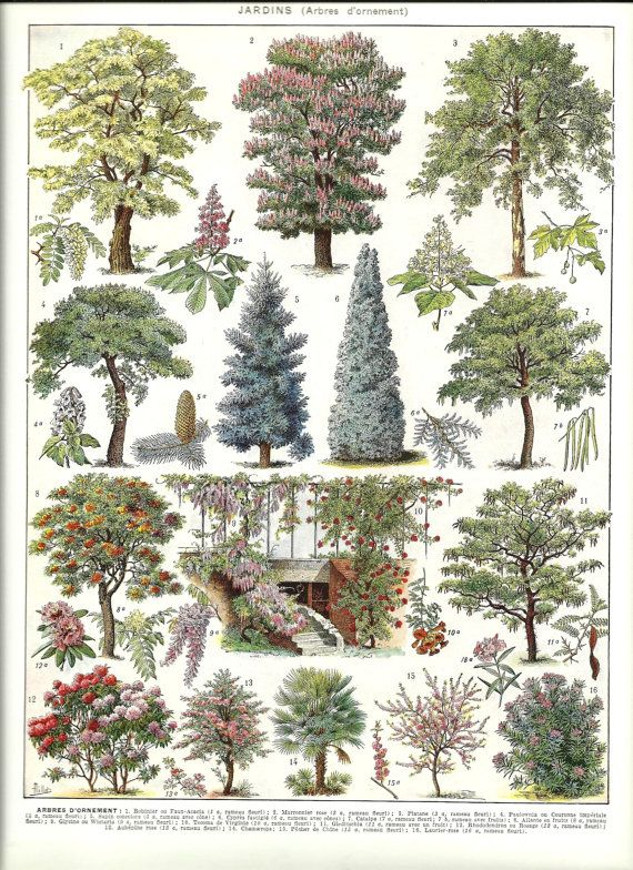 Vintage ORNAMENTAL TREES - Vintage french dictionary print poster - 1930