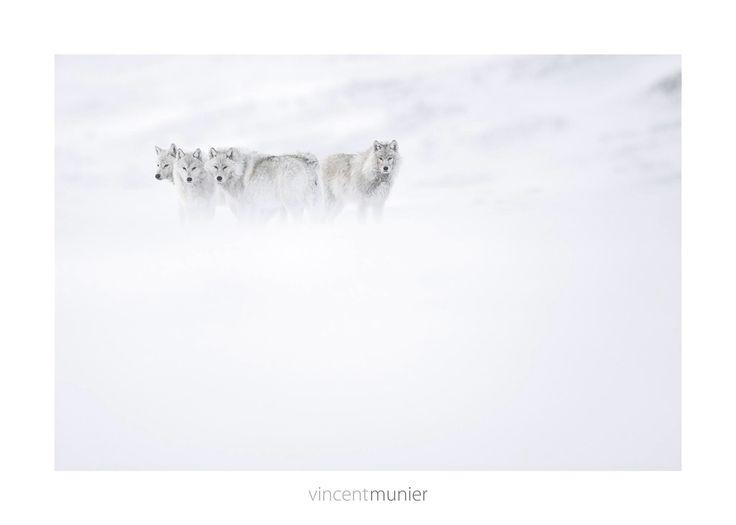 Vincent Munier: Artic Wolves