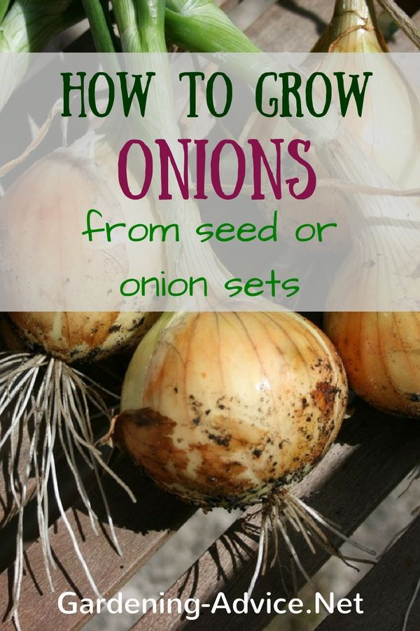 Learn How To Grow Onions. This versatile vegetable is always needed in the…