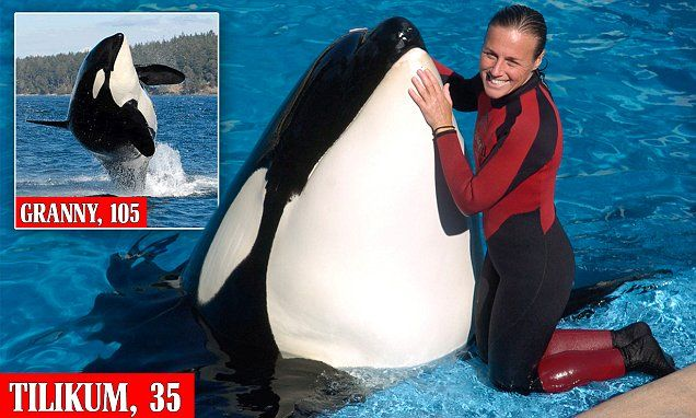 SeaWorld orca Tilikum who starred in Blackfish, killed a trainer, dies #DailyMail | These are some of the stories. See the rest @ http://www.twodaysnewstand.com/mail-onlinecom.html or Video's @ http://www.dailymail.co.uk/video/index.html And @ https://plus.google.com/collection/wz4UXB