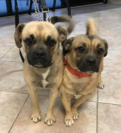 Homeatlast These Cuties Darling Pug Mixes From Phoenix