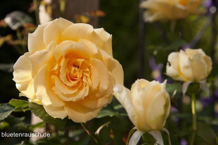 Heute ist internationaler Tag der Freundschaft.   Mit gelben Rosen zeigst du Freunden, dass du sie magst.