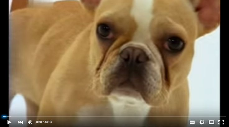 Видео о породах собак французский бульдог, эрдельтерьер, лабрадор, чихуахуа, пудель - http://dogcat.yworld.ru/sobaki/video-o-porodax-sobak-francuzskij-buldog-erdelterer-labrador-chixuaxua-pudel.html