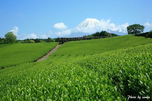 Mt.Fuji and tea plantation 富士山 茶畑