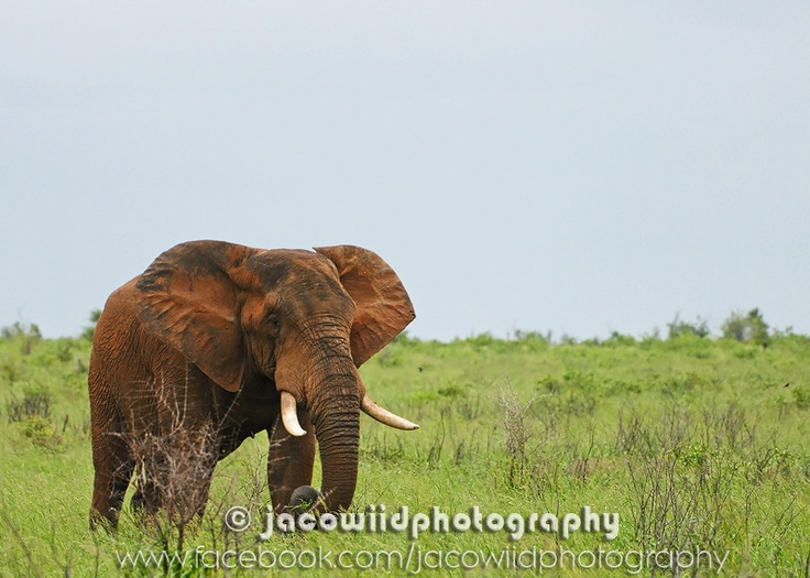 Beautiful Bull elephant in the Kruger National Park