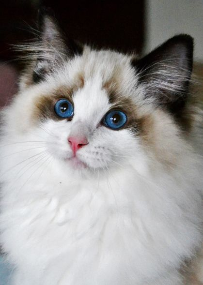 This is the Ragdoll I want to get.  She has such a sweet face.  Bailey is my luv bug, but man, this one or one like her, would be the cream of the crop.