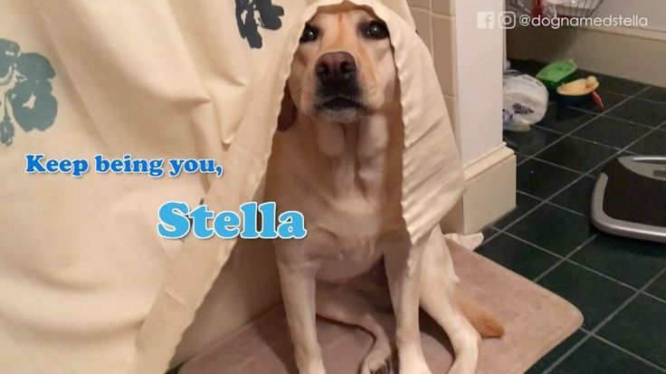 """5,079 Likes, 111 Comments - Stella • 4yr old English lab (@dognamedstella) on Instagram: """"Let's throw it back to that time Stella did a little video tutorial showing how she actually ends…"""""""