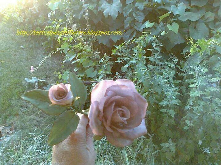 mauve rose