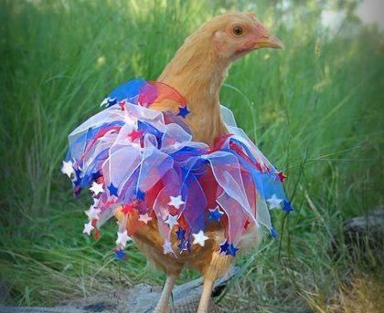 PetsLady's Pick: Funny Fireworks Chicken Of The Day
