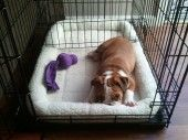 Midwest Folding Dog Crate Review at http://petproductexpo.com/dogs/midwest-folding-dog-crate-review