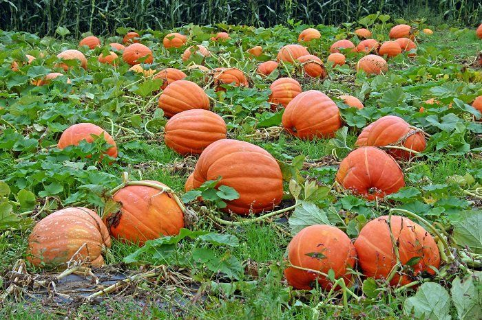 Plant pumpkins in July. Info on how to grow pumpkins.