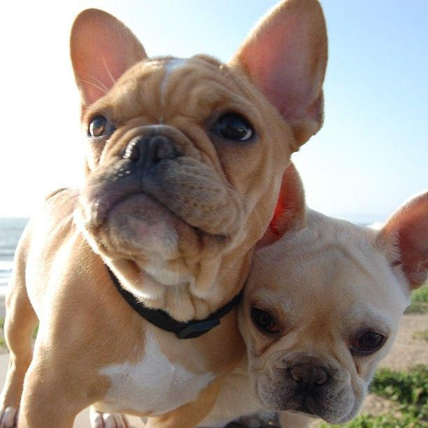 french bulldog behavior 25 best ideas about french bulldog temperament on 1701