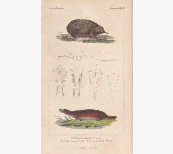 Bristly Echidna New Holland Platypus engraving 1837
