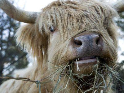 Scottish Highland bull -truly ugly and amazingly cranky cattle