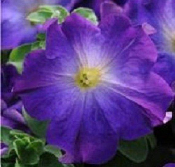 15 graines Petunia-SOPHISTICA BLACKBERRY