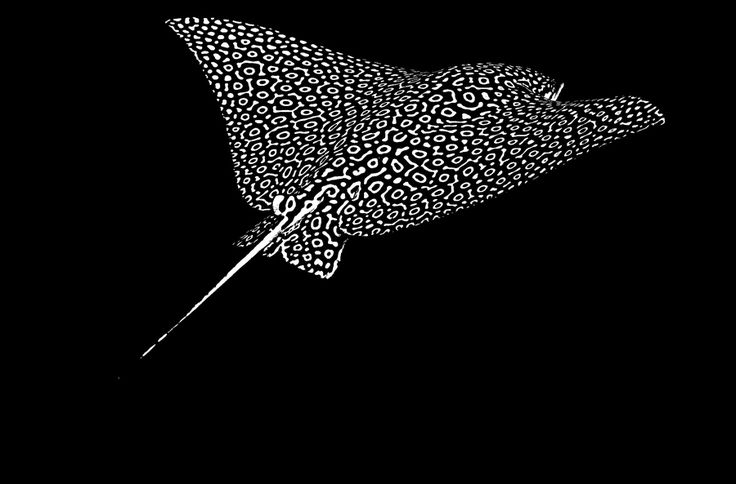 Scuba diving with breathtaking spotted eagle rays in Belize. Unbelievable photograph!!