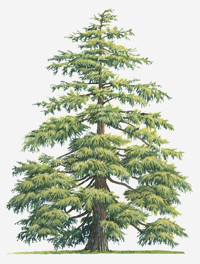 Illustration Of Evergreen Cedrus Deodara (deodar Cedar, Himalayan Cedar Tree Digital Art