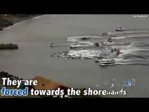 Whaling in Faroe Islands - YouTube