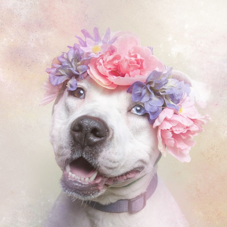 White Dog | Floral Headband | Pit Bull Rescue | Animal Adoption | Flower Power | Pet Photography