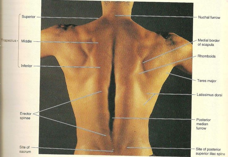 Strength Exercise For Back Muscles Picture  Surface