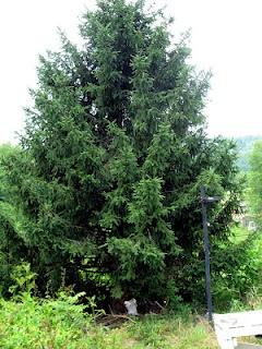 Blue Spruce - Tree Identification - North Carolina Conifer