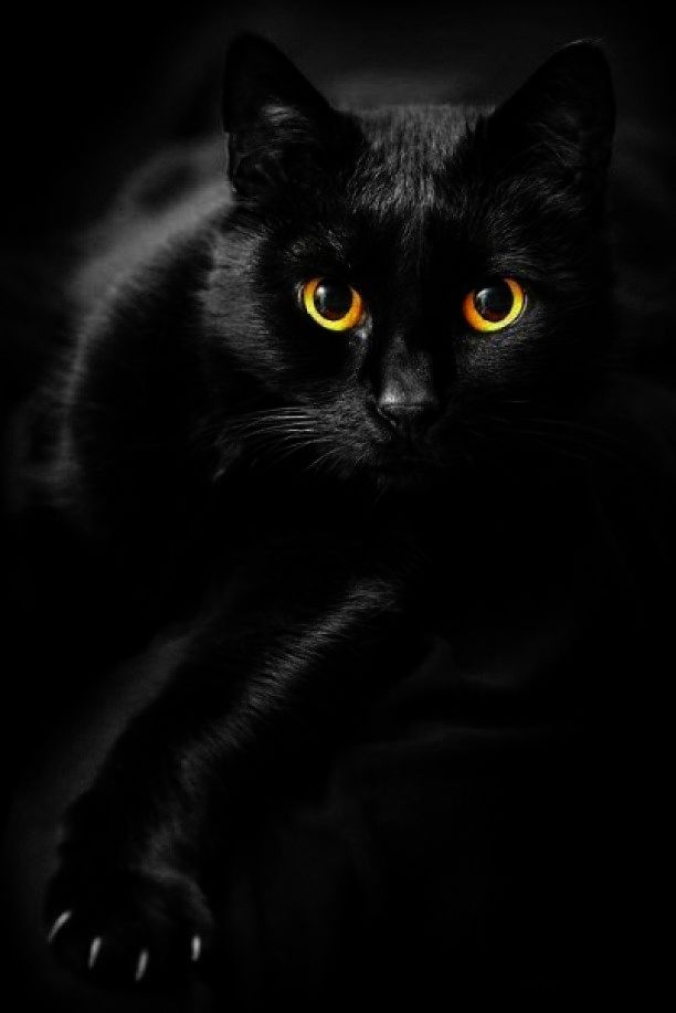 Did You Know That Today Is National Black Cat Day In The Us National Black Cat Day Black Cat Day Cat Breeds
