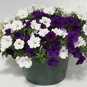 Perfect mix of purple and white petunias.....would accent beautifully with my purple impatiens under our front tree and my orange impatiens hanging baskets........