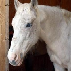 White Feather is an adoptable Appaloosa Horse in Des Moines, IA. White Feather is beautiful, calm and easy to be around. She is wormed and current on all vaccinations. Her feet have also been done. She is currently in a foster home & can be seen by appointment.  If you are interested in meeting her or learning more about her please contact Judy at jhand@arl-iowa.org or 515-473-9112 Age: 20 yrs