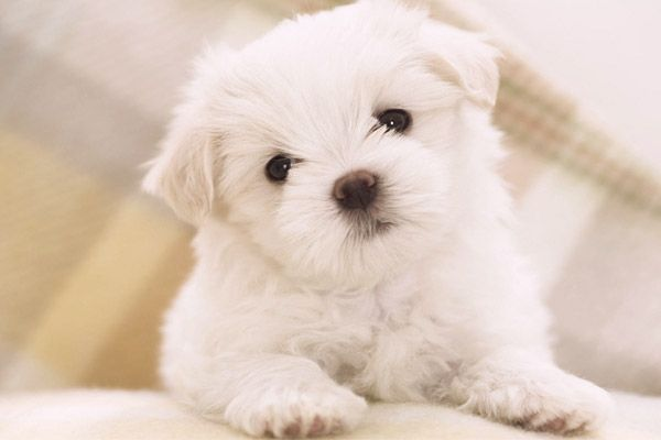 hypo-allergenic dogs - maltese!