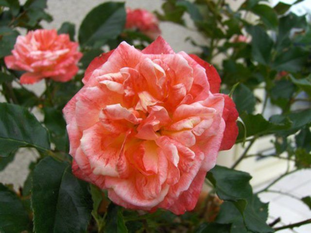 Capture The Beauty Of A Rose On A Small Block Of Wood Hybrid Tea Roses Knockout Roses Growing Roses