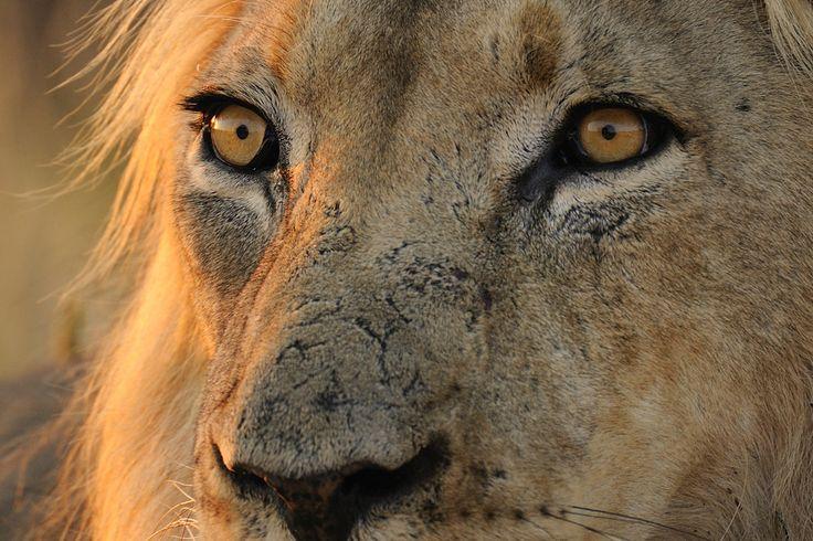 Kalahari Löwe im Morgenlicht!