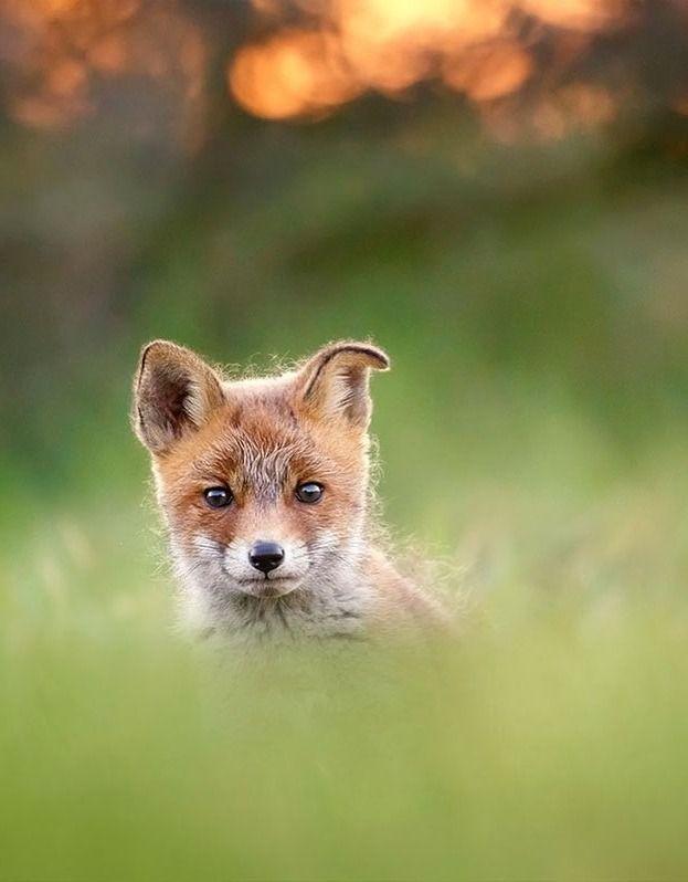 Floppy eared fox