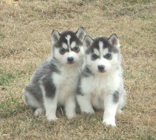 puppies for free | Pomsky Pictures About Husky Puppies For Free Uk