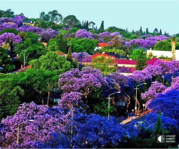 JACARANDA TREES BLOOM, PRETORIA SOUTH AFRICA | Read more in Real WoWz