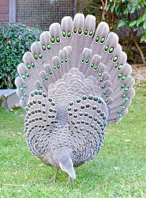 """Grey Peacock Pheasant,"" by Peter Stubbs, via Flickr -- ""Polyplectron bicalcaratum"" -- Click through to the photostream for more shots of this gorgeous bird, with feathers furled and unfurled, plus with and without the hen."