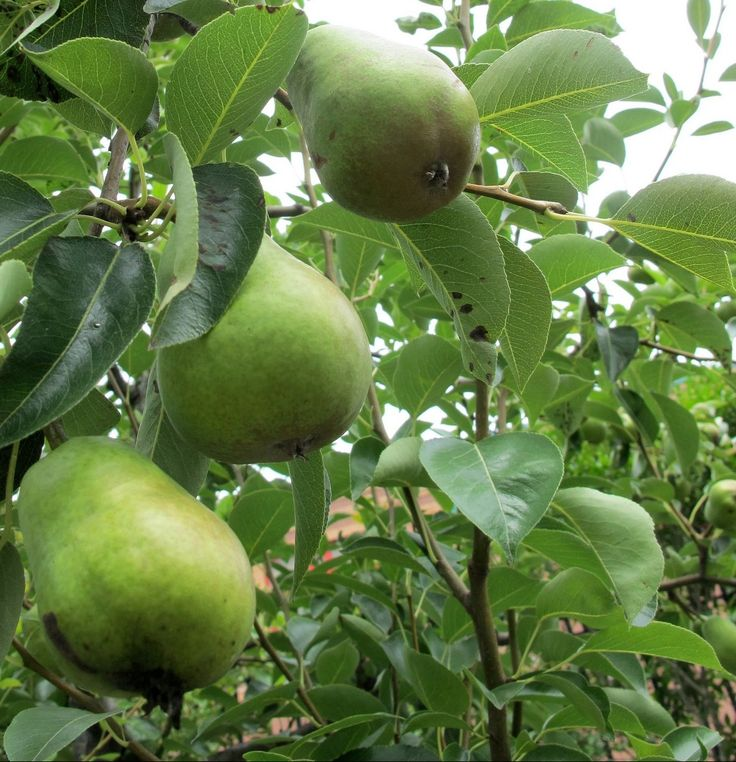 Read this if you want to know the best ways to preserve your summer harvest of #pears and #cherries