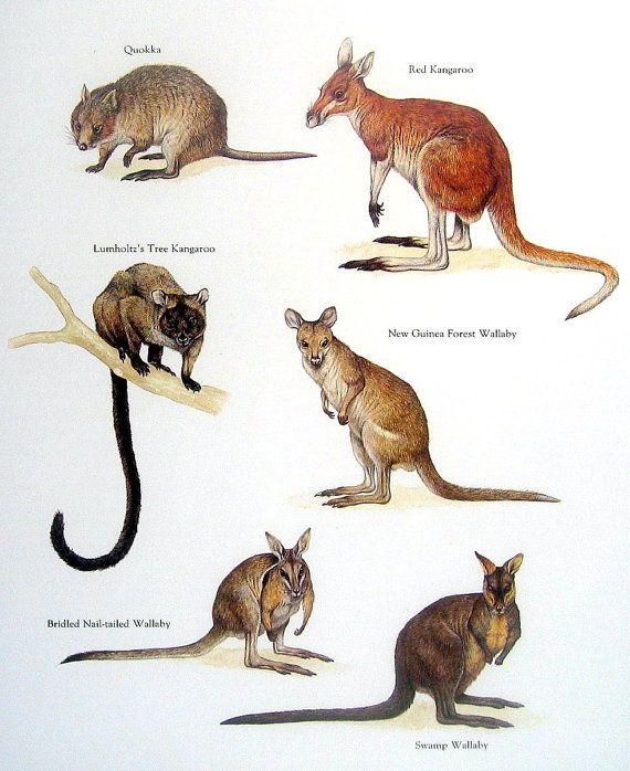 Exotic Animals - Quokka, Red Kangaroo, Swamp Wallaby - Vintage 1984 Animal Book Plate