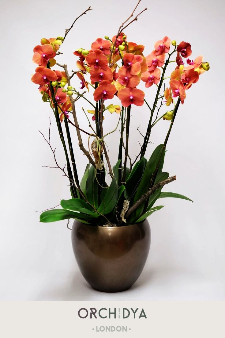 Passionated Orange Bloom Orchid Which Has Been Potted And Arranged In A Bronze Ceramic Vase As A Group Deco Fresh Flowers Arrangements British Flowers Orchids