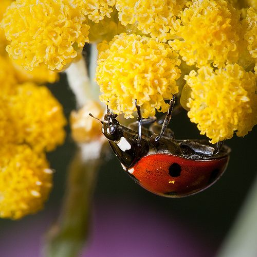 https://flic.kr/p/6ma5Zu | You can run, but you can't hide | Seven-spotted Ladybug (Coccinella septempunctata) under Helichrysum conglobatum.  This shy little beauty really gave me a hard time on Sunday. I spent much time chasing it around the yellow flowers it was on. It kept running around, trying to stay away from the intruder (me and my camera) and always ended up hiding under the yellow flowers. I lost track of time as I was striving for a good shot and after at least a dozen captures…